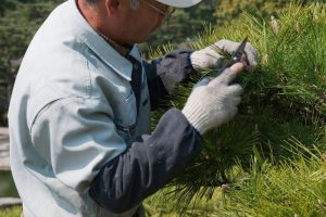 B7N5JJ A Japanese gardener wearing gloves and carefully pruning a Japanese black pine. Image shot 2008. Exact date unknown.