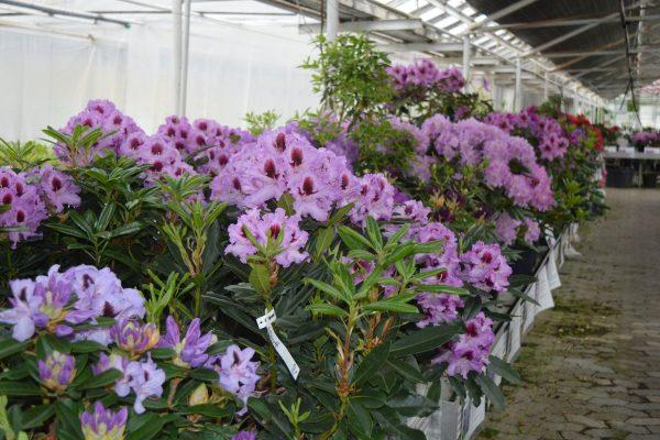 Lange rækker af Rhododendron og azalier placeret i farver efter regnbuen.